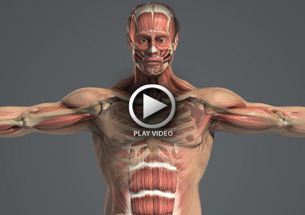 Male_Body_Muscular_Skeletal_01