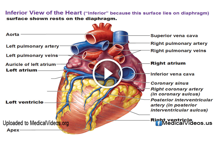 Anatomy And Physiology Cardiovascular System Heart Fundamentals
