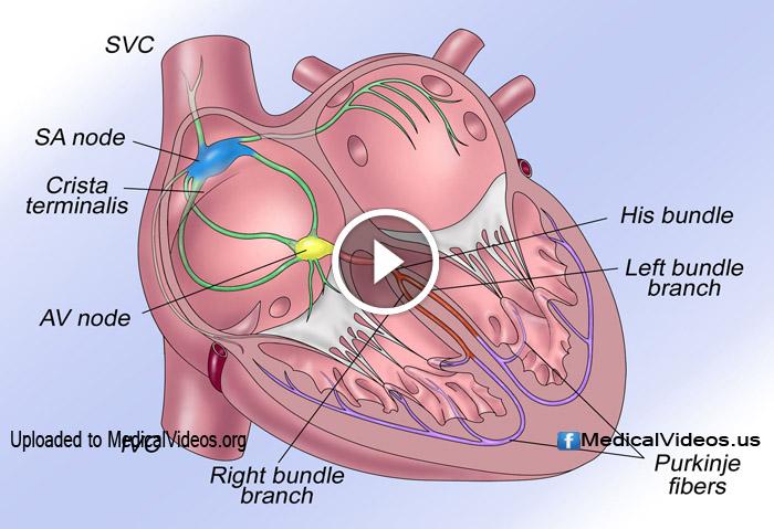 heart system cardiac