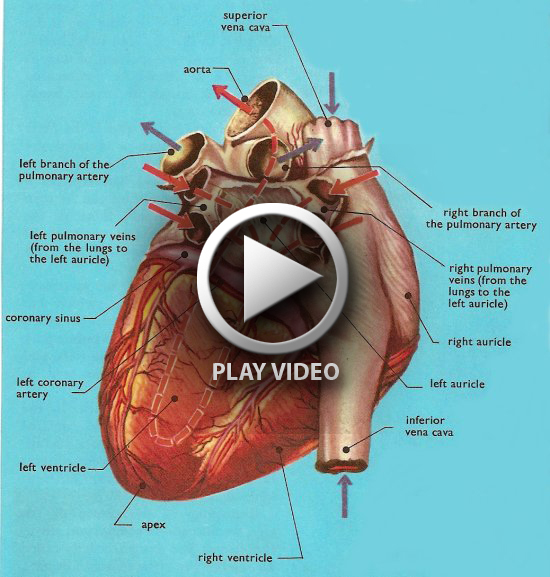 Video Of How The Heart Works Ibovnathandedecker
